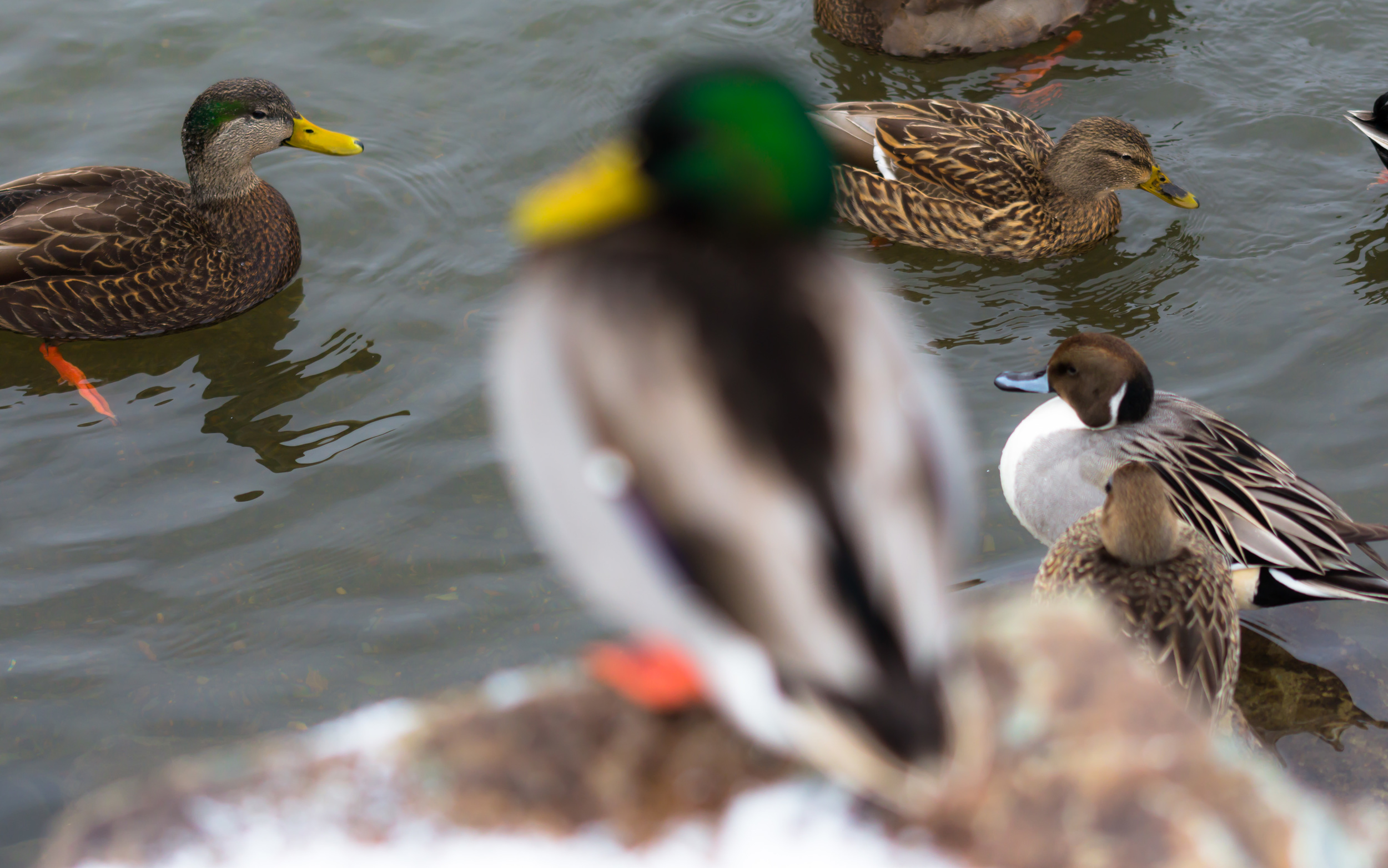 Out of focus duck