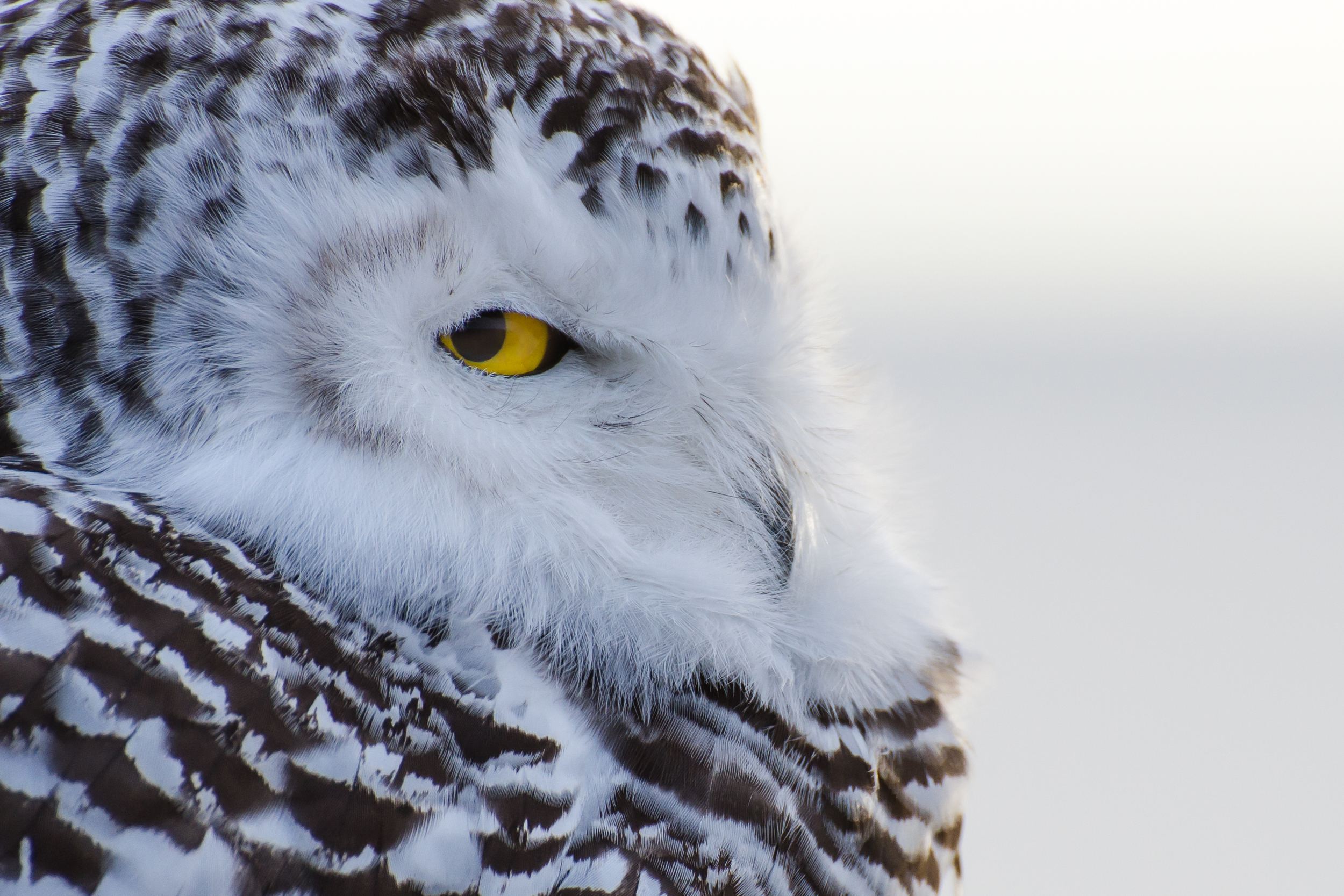 This snowy owl was super relaxed, but clearly it had it's eye on me.