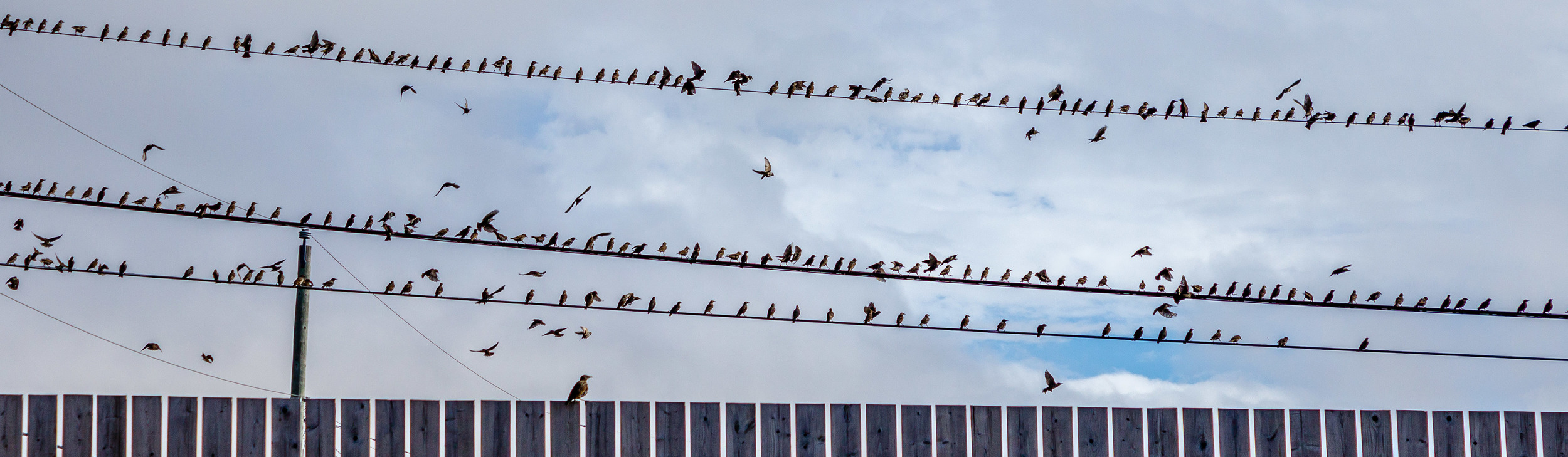 Lots of birds on the wire