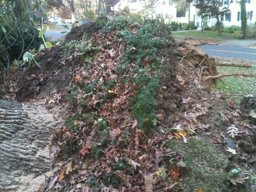 150-year-old-fallen-oak.jpg