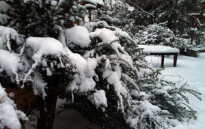 Heavy snow can break the branches of evergreens. Give plants a dusting off after a heavy snowfall.