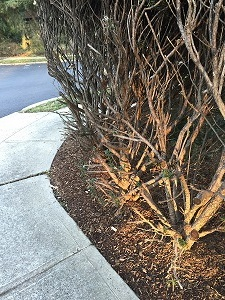 A shrub planted too close to a walkway will be a constant maintenance chore.