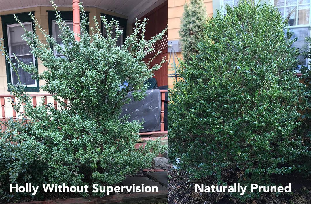 pruned-shrub-vs-not-pruned.jpg