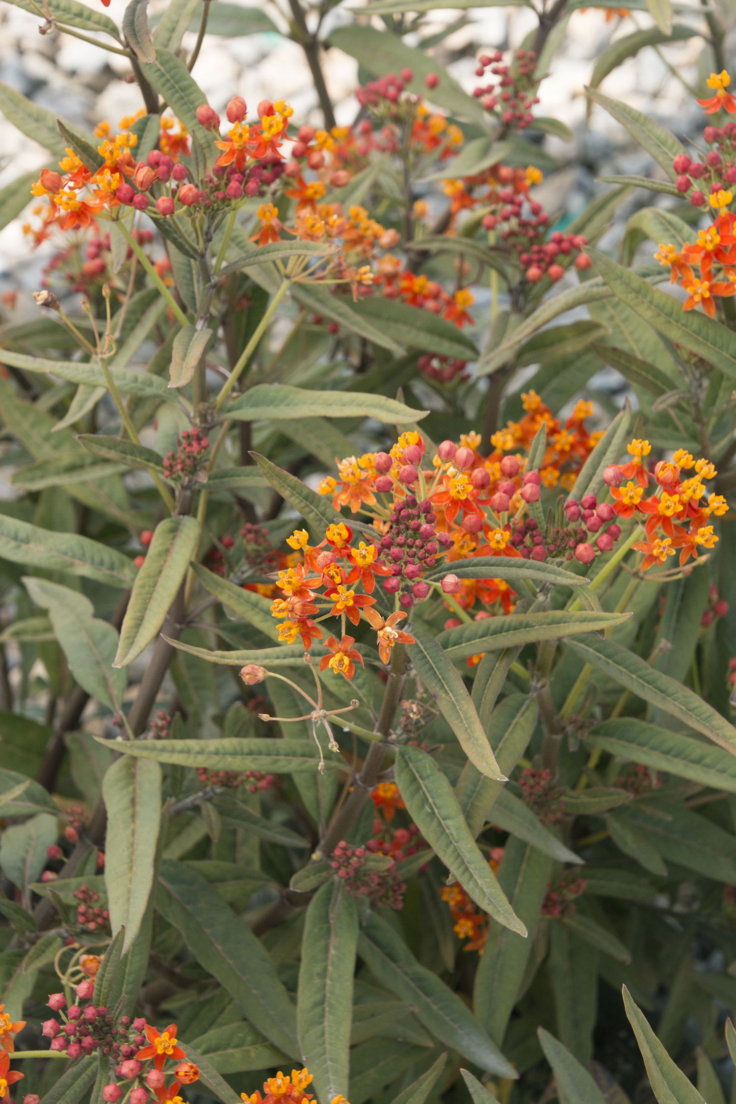 Asclepias tuberosa a.k.a. butterfly weed