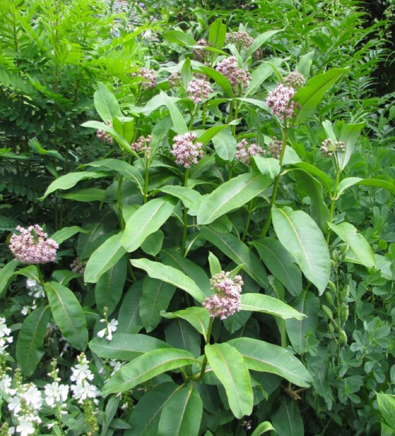 Asclepias syriaca a.k.a. common milkweed