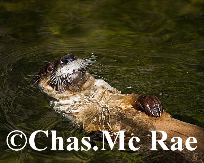 Otter_Arizona_Captive_14919WR06_01.jpg