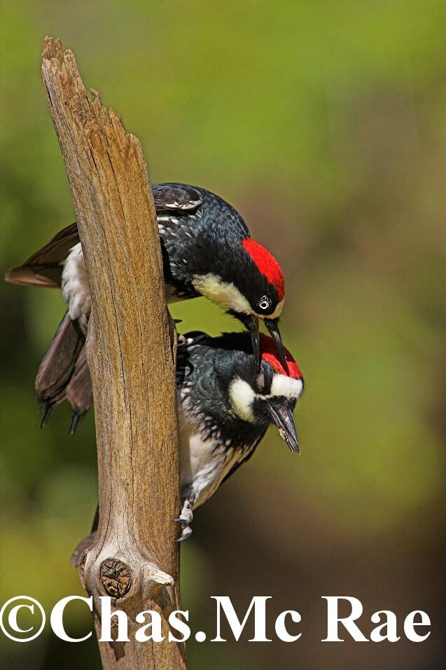 Acorn_Woodpecker_Fight_06_01.jpg