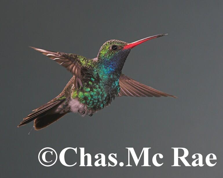 Broad_billed_Hummingbird_MaderiaCanyon_Az_043840n_01.jpg