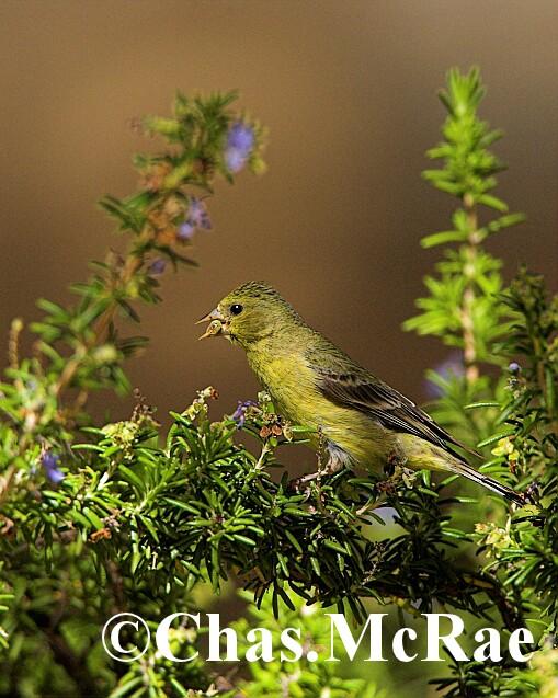 Lesser_Goldfinch_Arizona_15587WR06_01.jpg