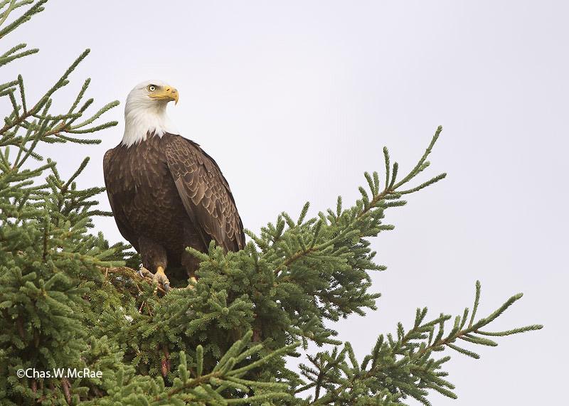 eagle_2_bald_mature_222804_00004.jpg
