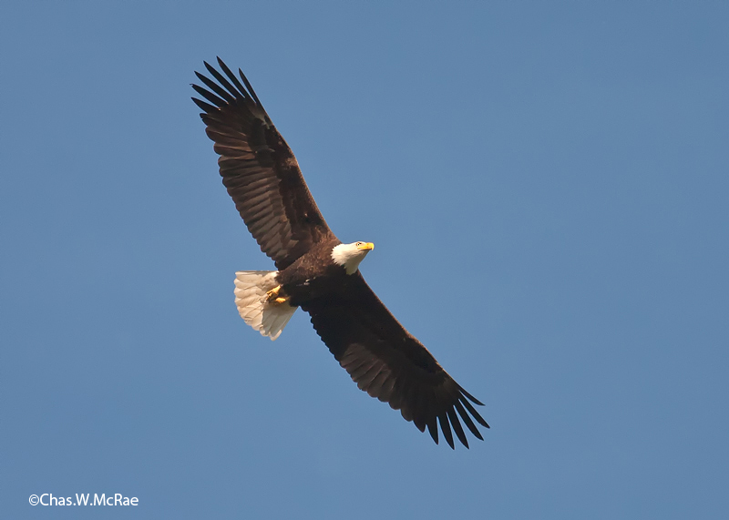 eagle_3_bald_mature_flight_231626_00005.jpg