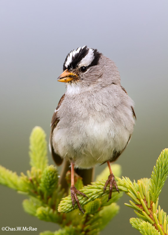 sparrow_white_crowned_food_t_t_100621_203756_00001.jpg