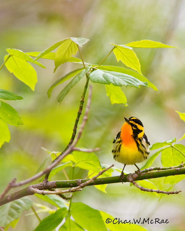 BlackburianWarbler_Magee_Ohio_00002.jpg