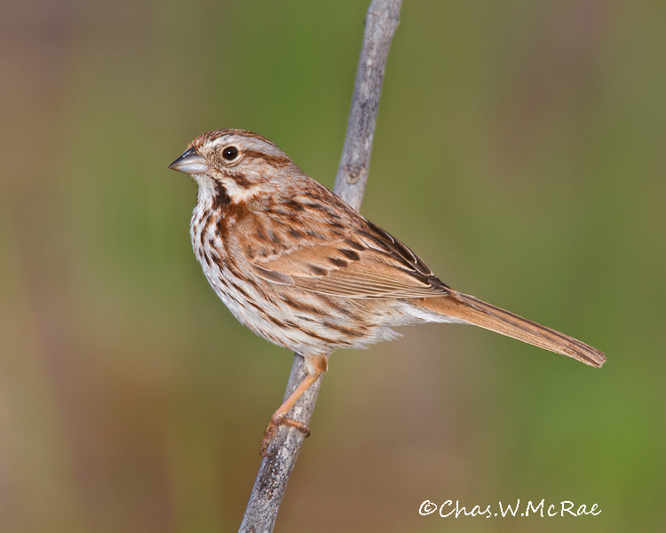 SongSparrow_OregonOhio_00003.jpg