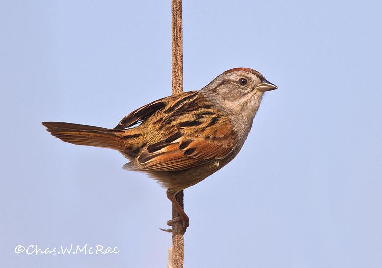 swampsparrow_oregonohio_00006.jpg