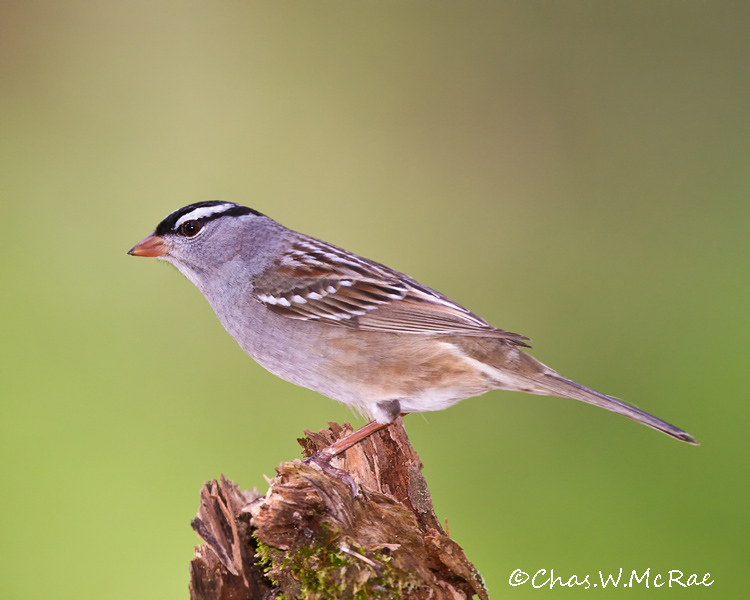 White_crownedSparrow_NE_Mi_00004.jpg