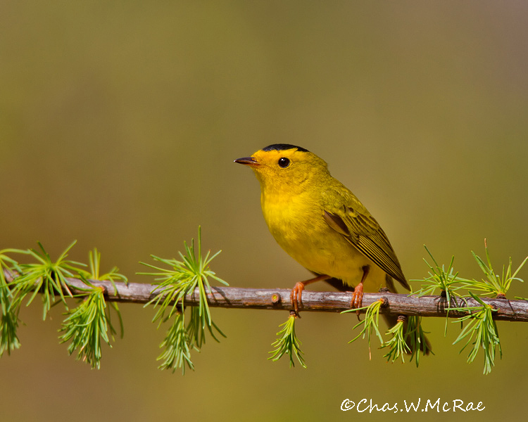 WilsonsWarbler_UP_Mi_00045.jpg