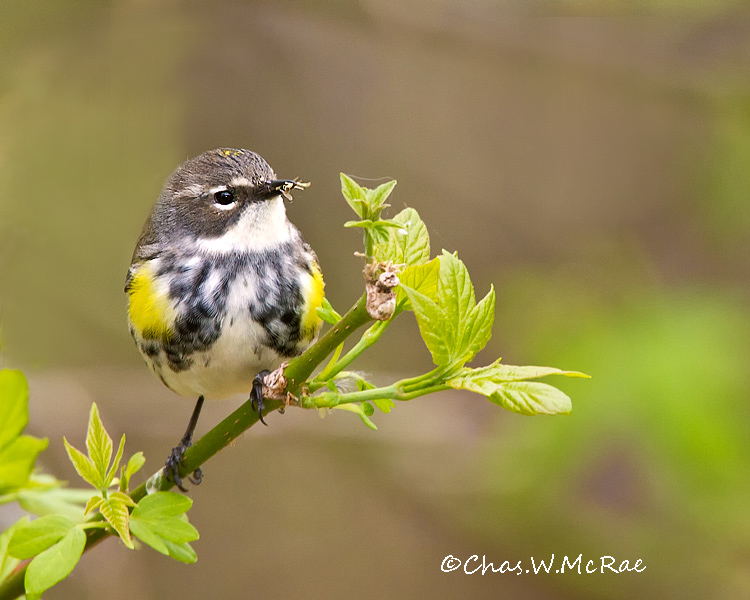 YellowrumpedWarbler_Magee_Ohio_00006.jpg
