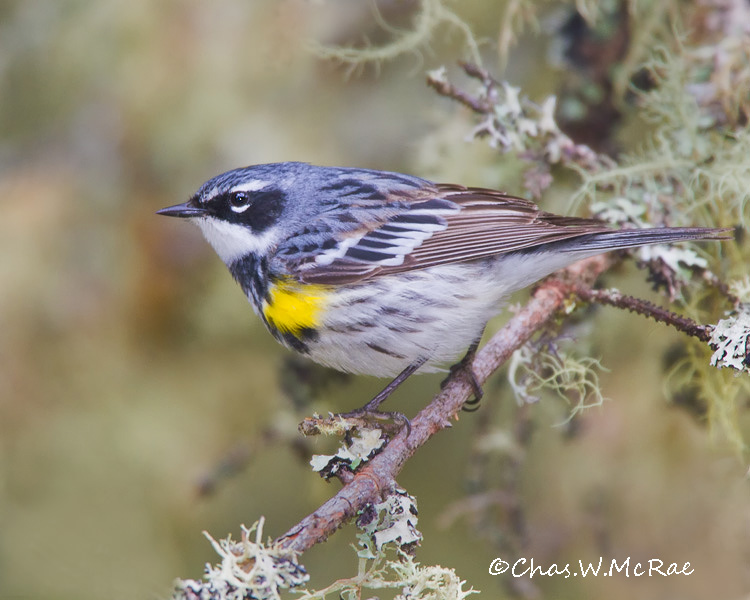 YellowrumpedWarbler_UP_Mi_00045.jpg