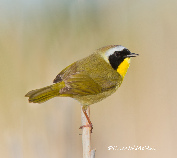 Yellowthroat2_Magee_Ohio_00008.jpg