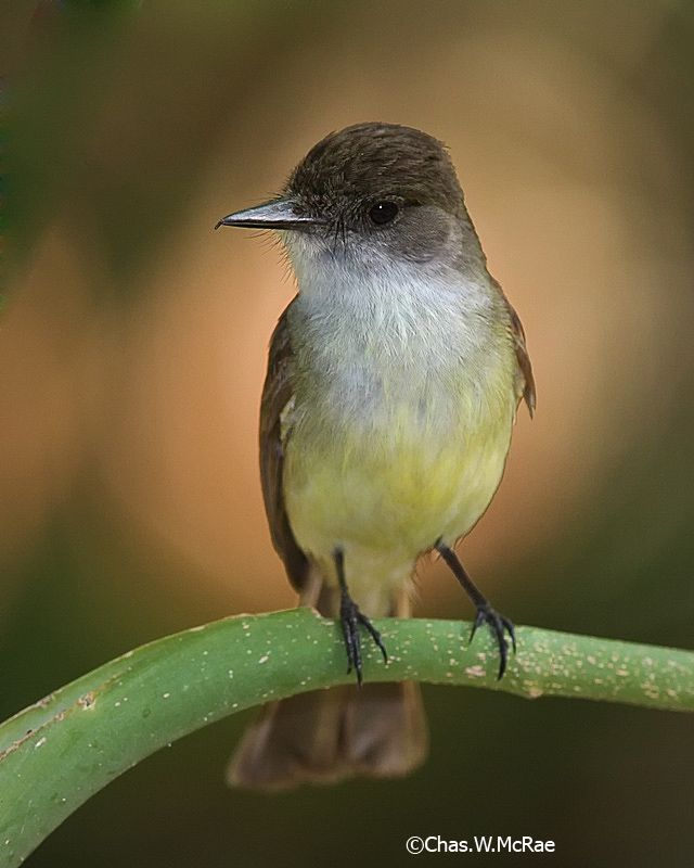 Flycatcher_sp.jpg