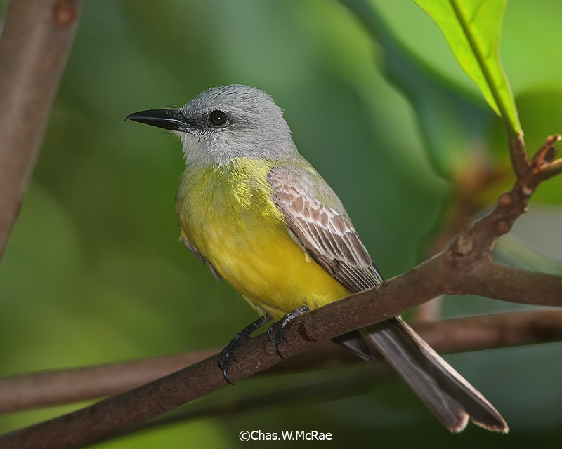 Tropical_Kingbird_23688WR06.jpg