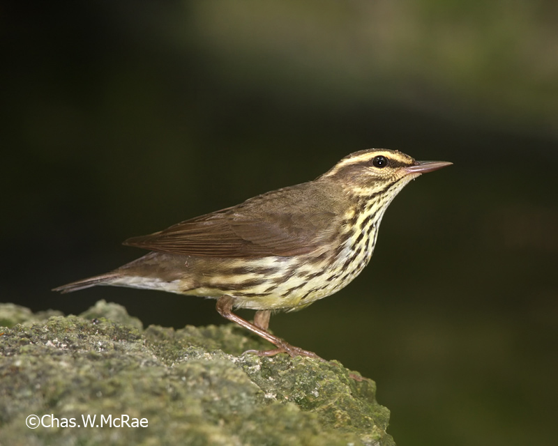 Waterthrush_Northern_Belize_22249WR06_2.jpg