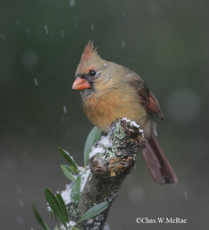 Cardinal(Fem)_Snow_RAW_0003.jpg
