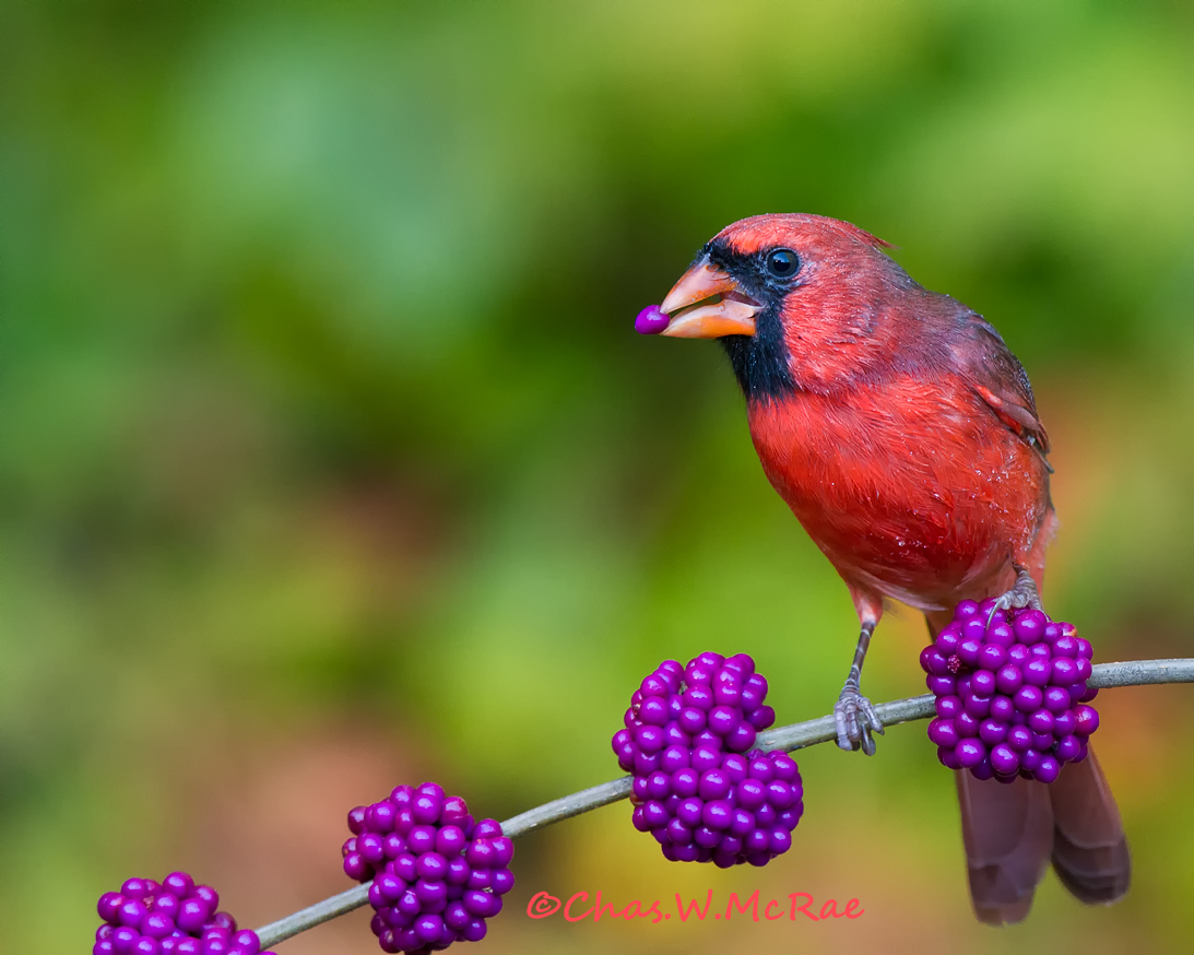 Cardinal(male)Berry_Oct2010_ copy.jpg