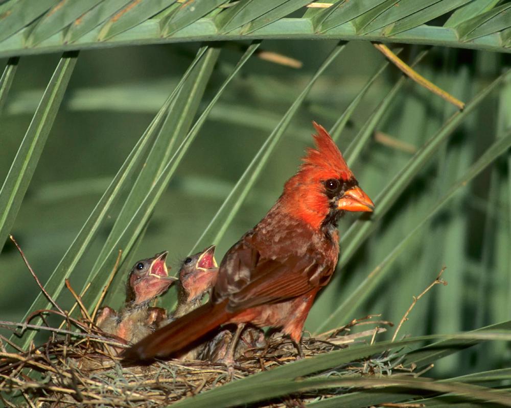 Cardinal-PalmNest_.jpg