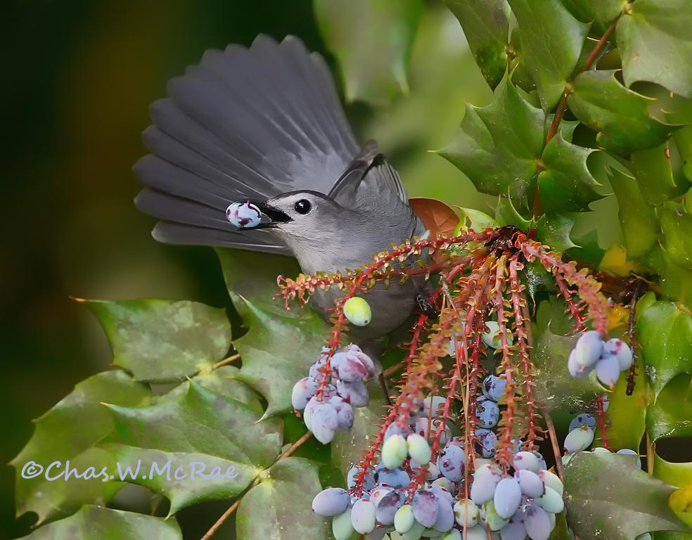 CatbirdSmall-April_2010 (2).jpg