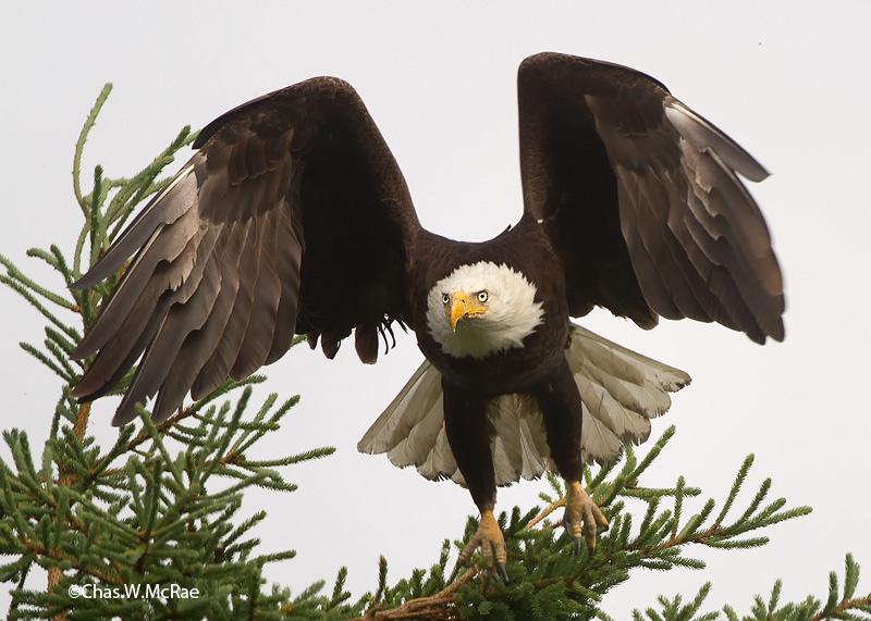eagle_bald(mature)_t_t-100626_223229_00004.jpg