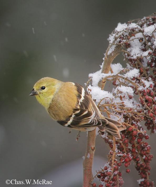 Goldfinch_Snow_SC_0001.jpg