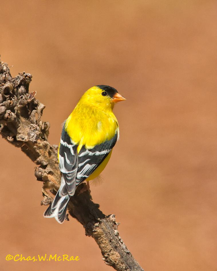 Goldfinch_male_2009_00002 copy.jpg