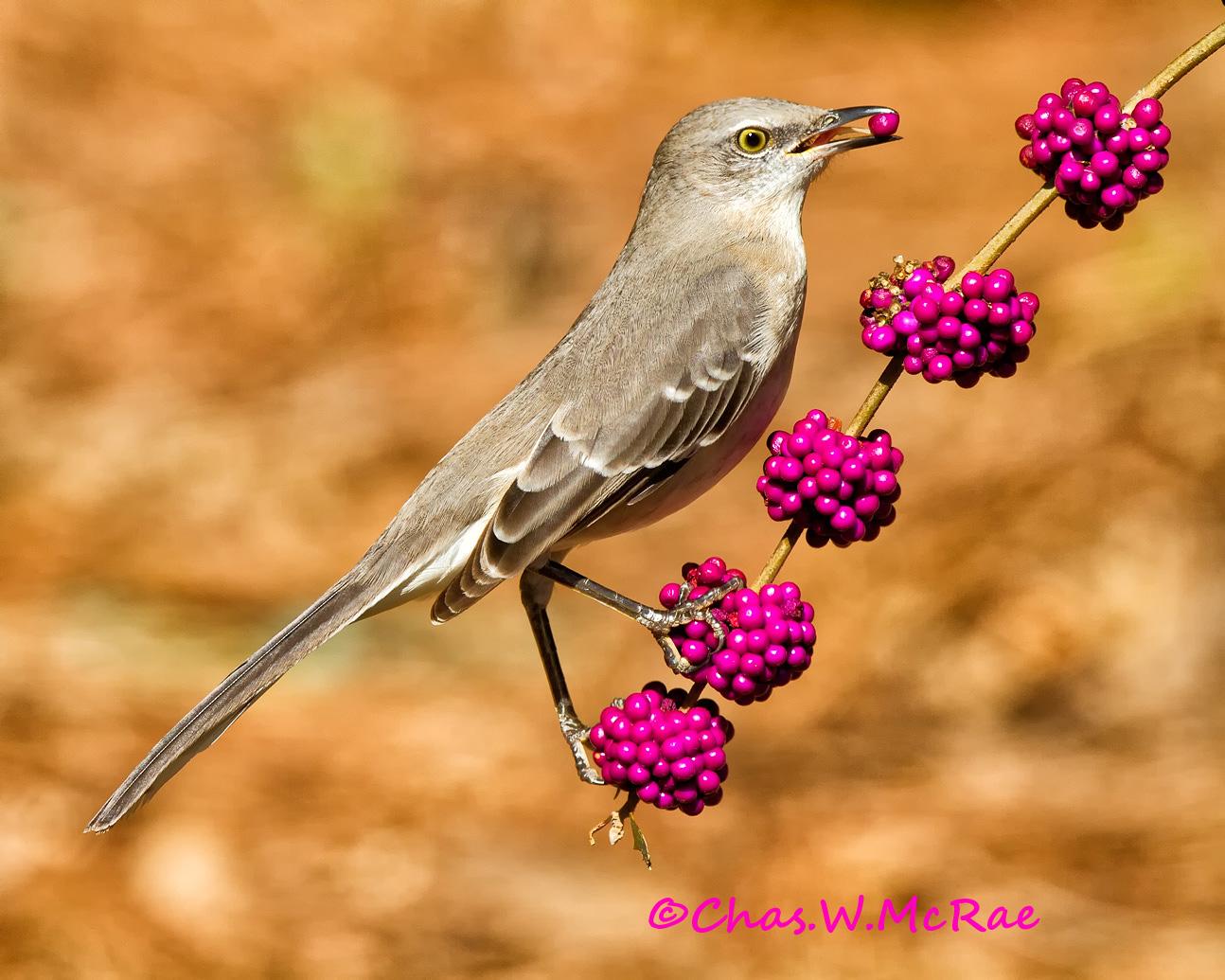 Mockingbird_beautyberry_Oct2010_00001.jpg