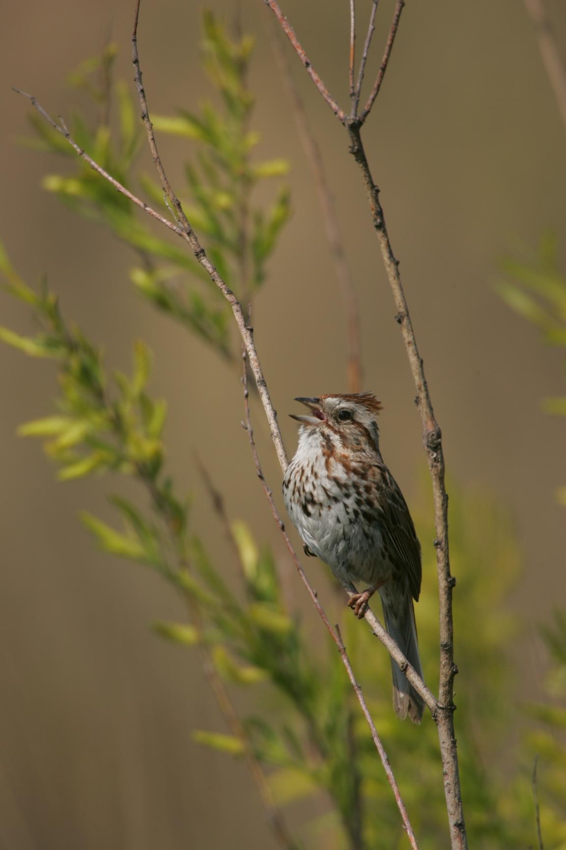 Sparrow_Song_IMG_0002.jpg
