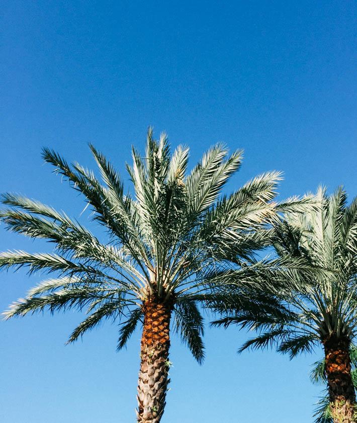 palm tree - florida