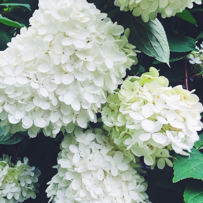 White Hydrangeas in Maine