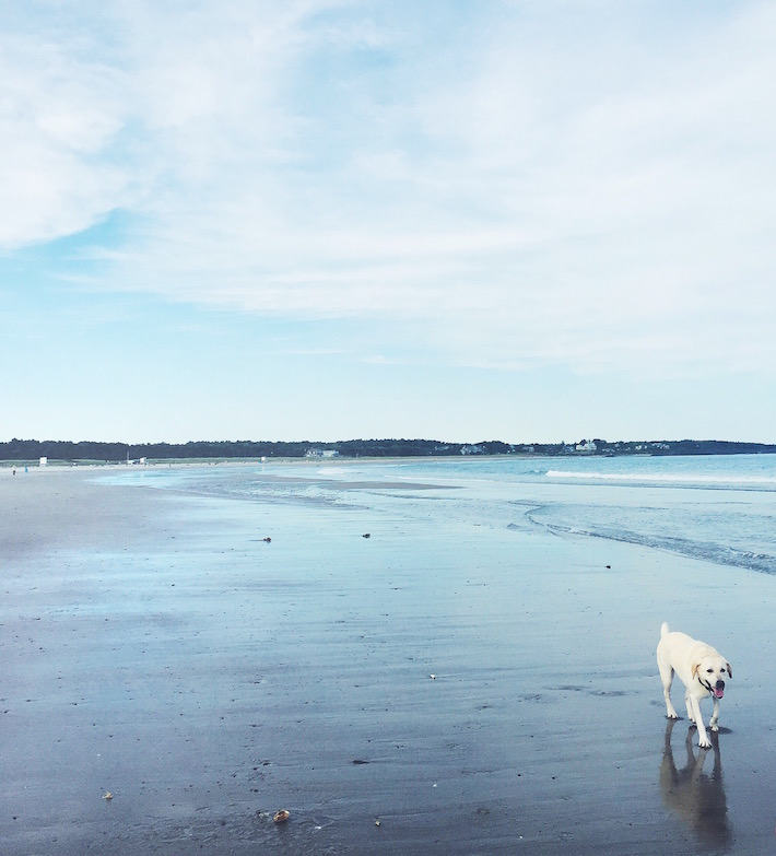 Yellow Lab on the Beach - Maine
