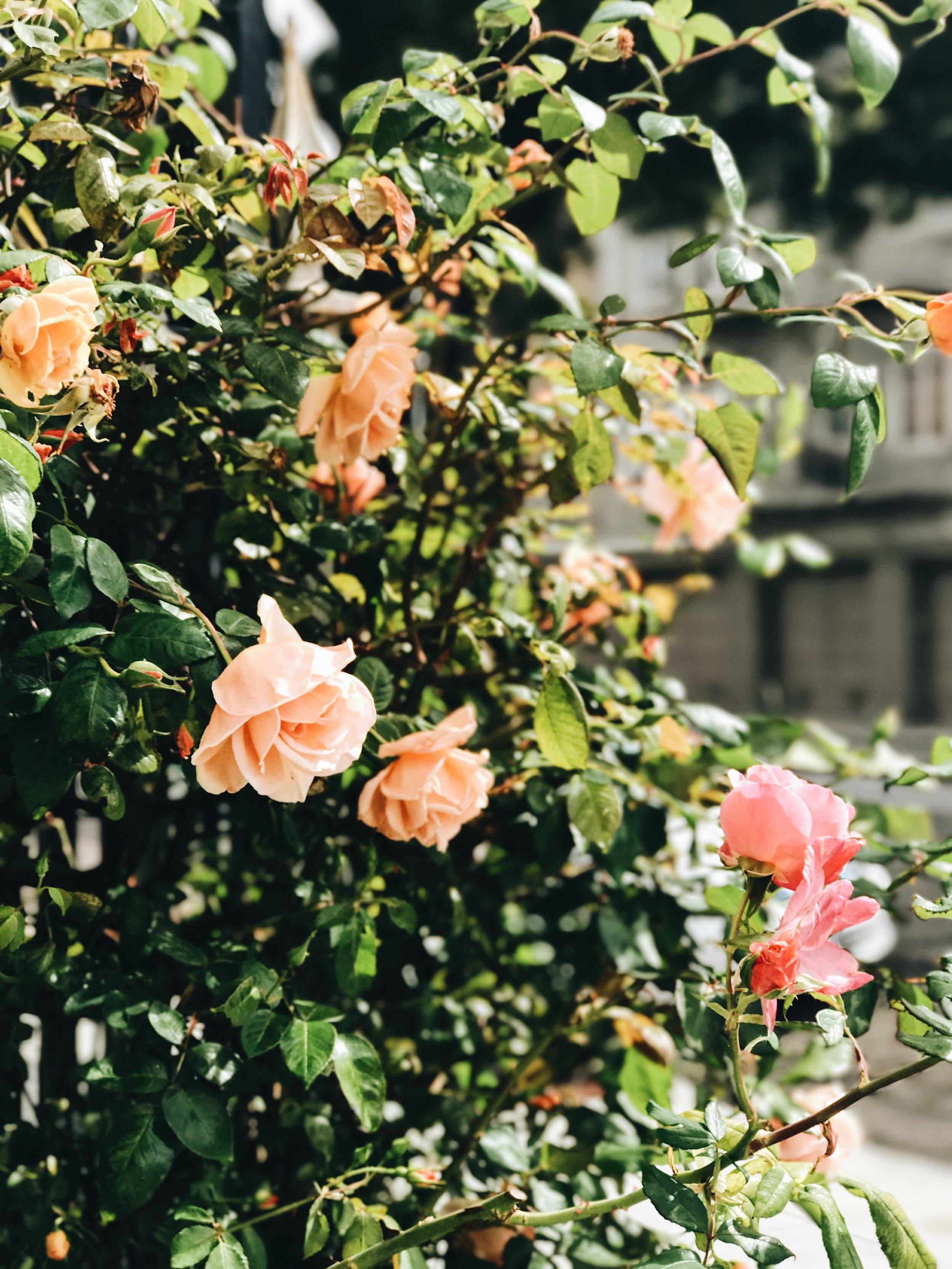 Garden Roses San Francisco