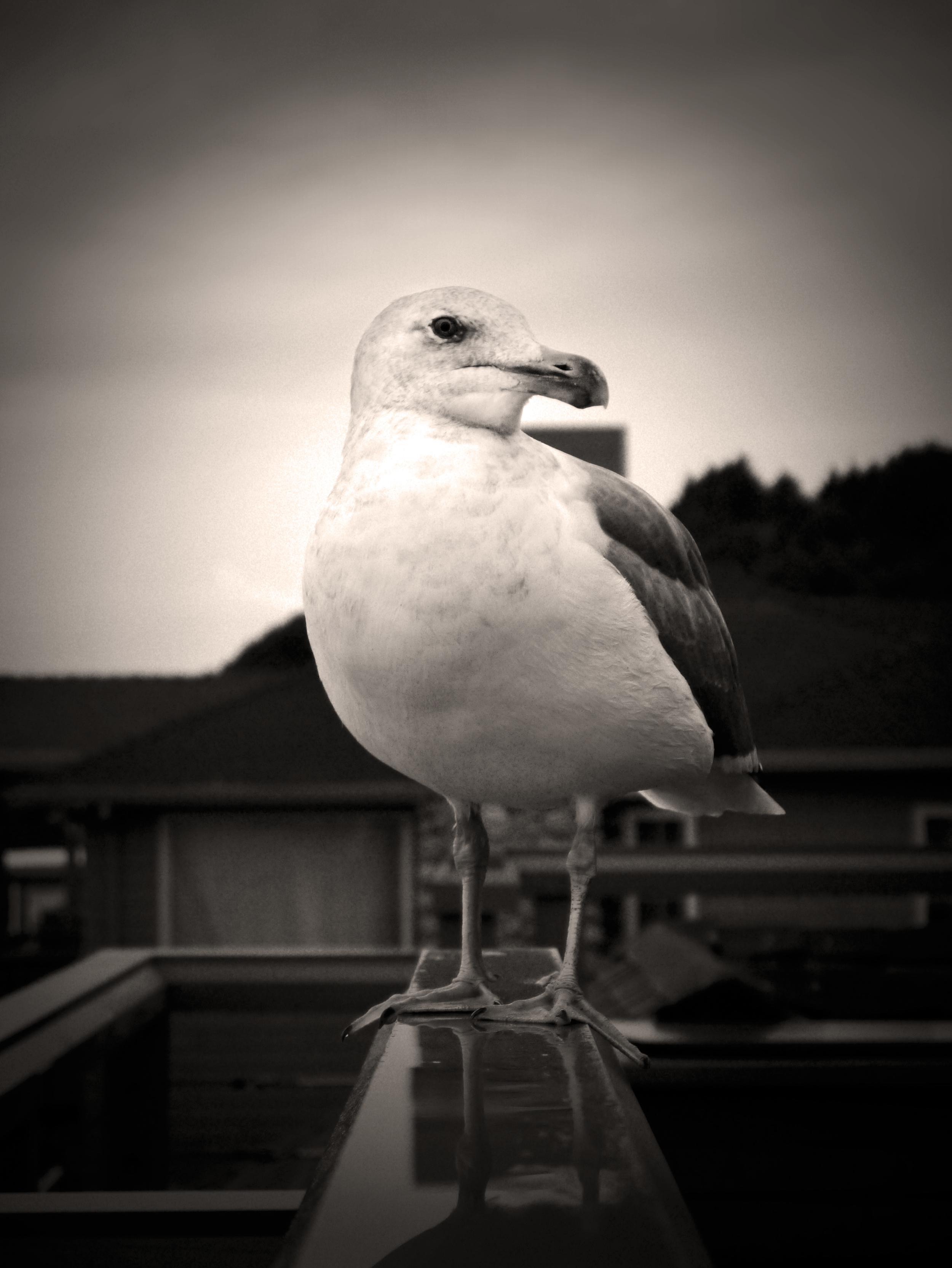 Seagull CBO.jpg