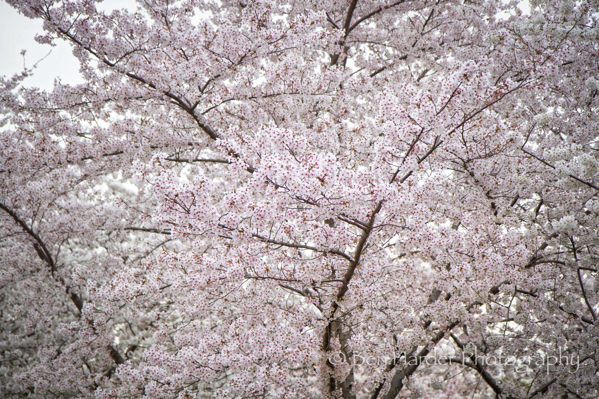 """Cherry Delight"" - Washington, D.C."