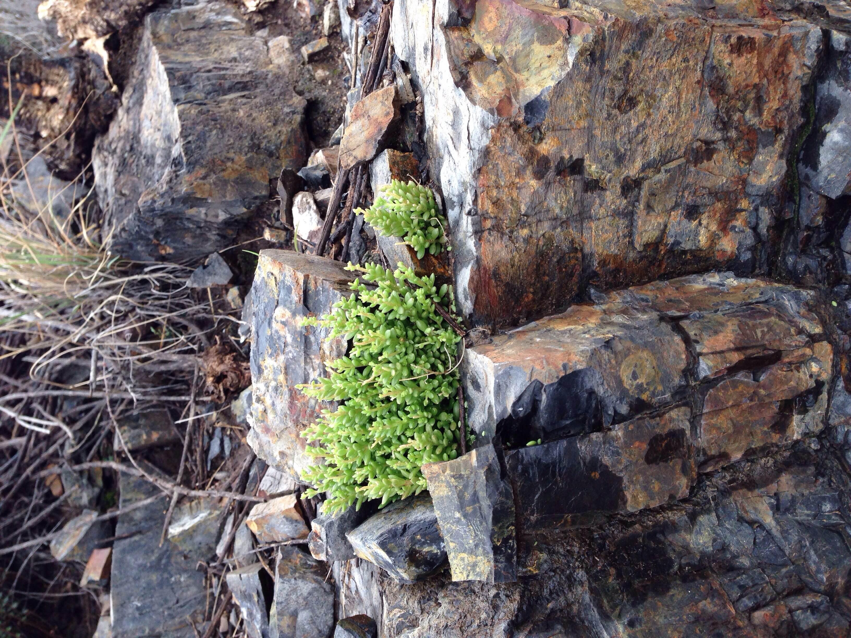Plant: Sedum wrightii, Wright's Stonecrop | Locations: Pinto Canyon Road, Presidio Co., Texas