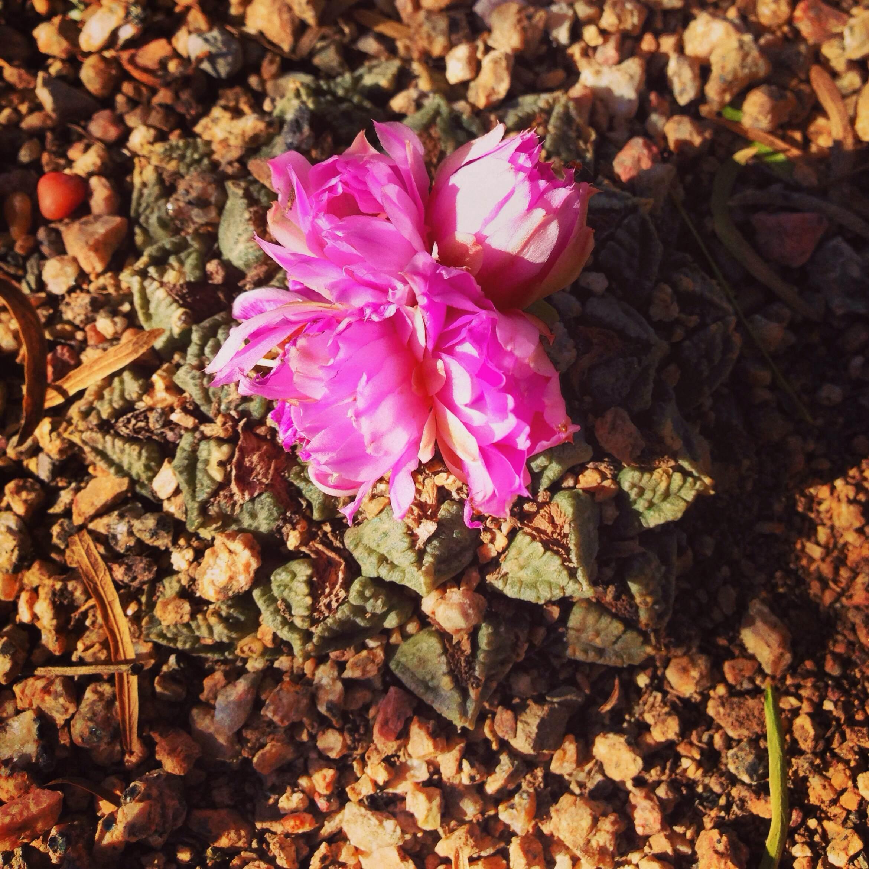 Plants: Ariocarpus fissuratus, Living Rock Cactus | Location: Residential Garden, Marfa, Texas