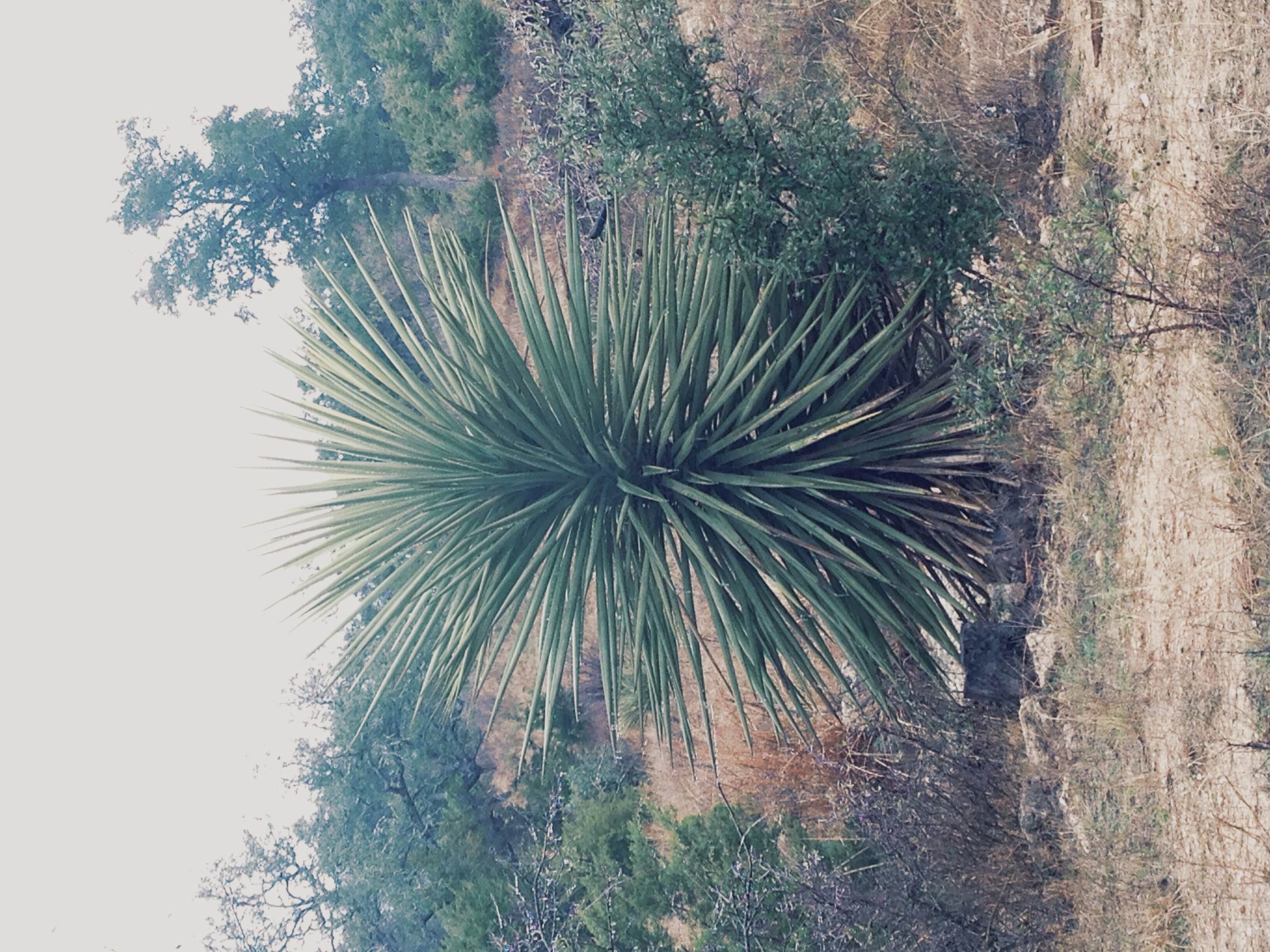 Plant: Yucca treculeana, Spanish Dagger | Location: Double Eagle Ranch, Burnet Co., Texas