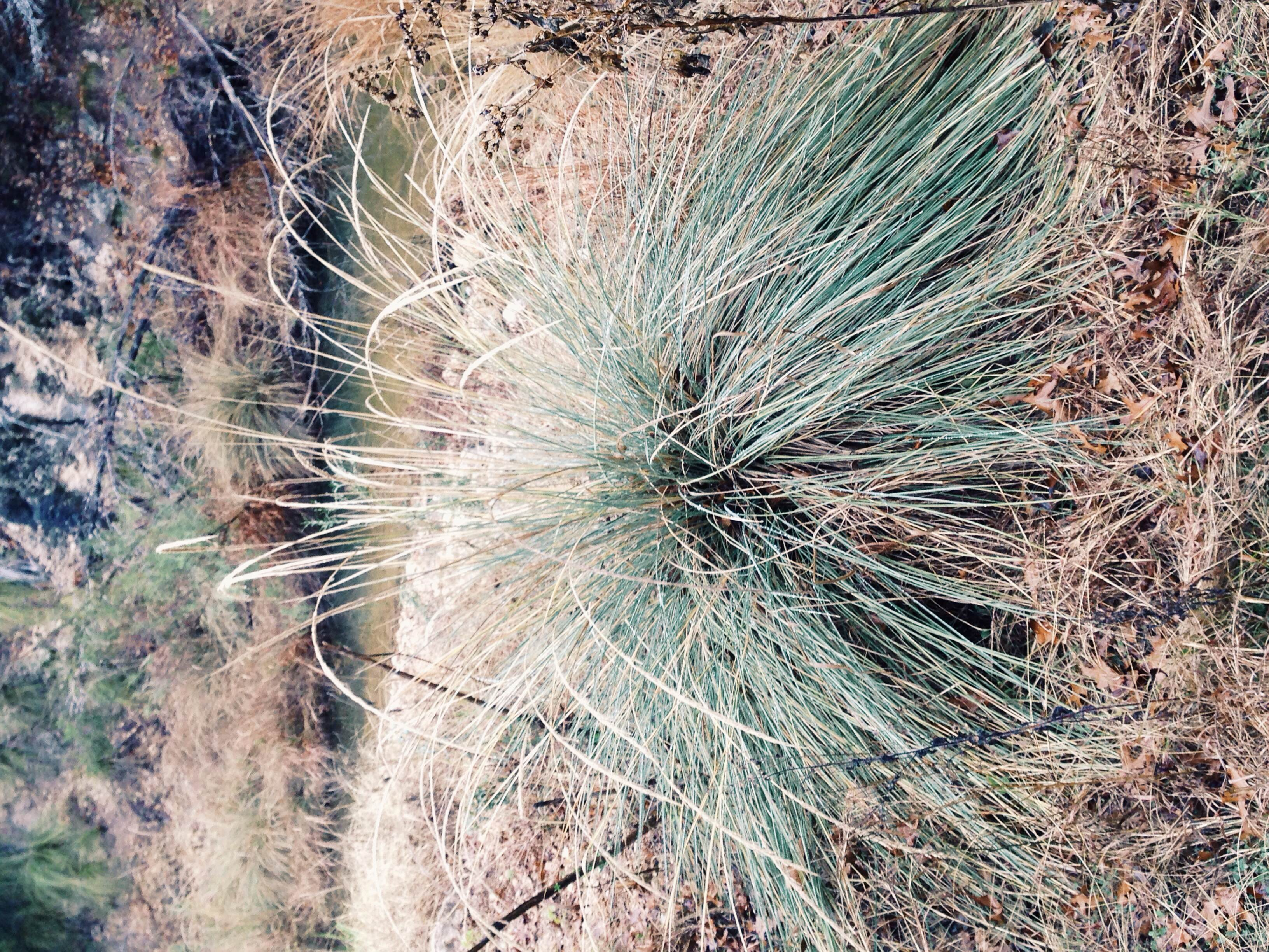 Plant: Muhlenbergia lindheimeri, Big Muhly | Location: Double Eagle Ranch, Burnet Co., Texas