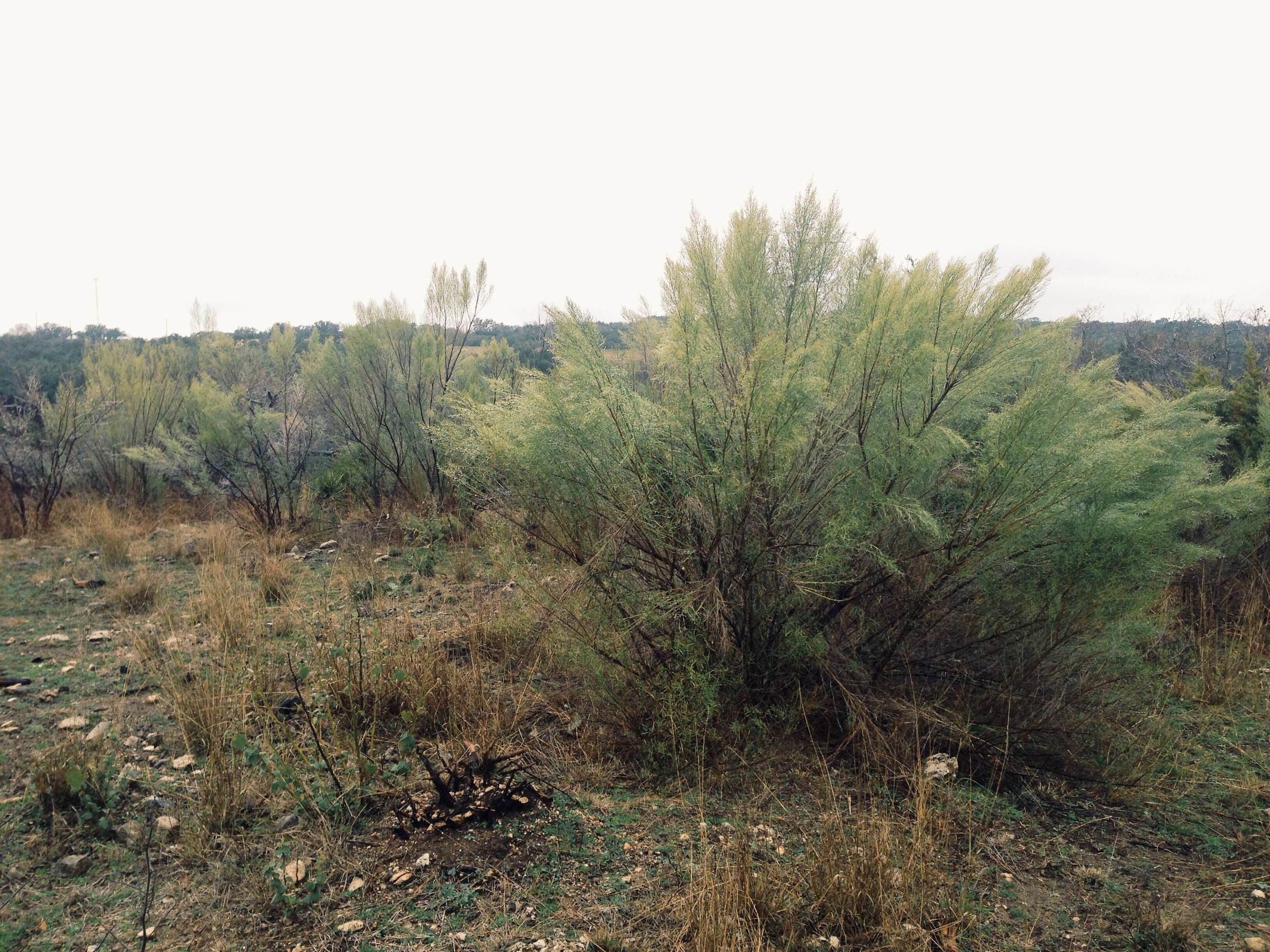 Plant: Baccharis neglecta, Roosevelt Weed | Location: Double Eagle Ranch, Burnet Co., Texas