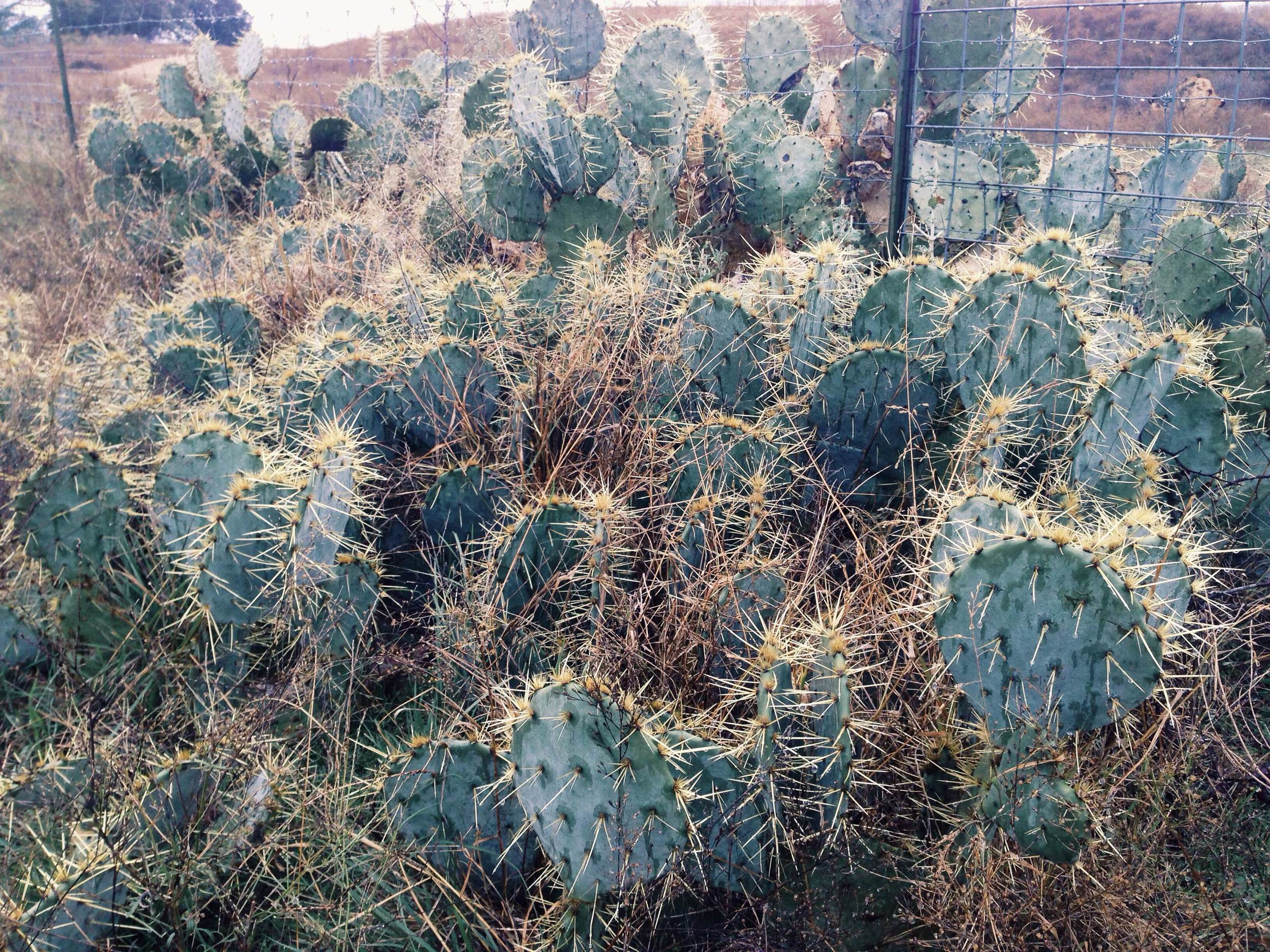 Plant: Opuntia engelmannii, Englemann's Prickly Pear | Location: Double Eagle Ranch, Burnet Co., Texas