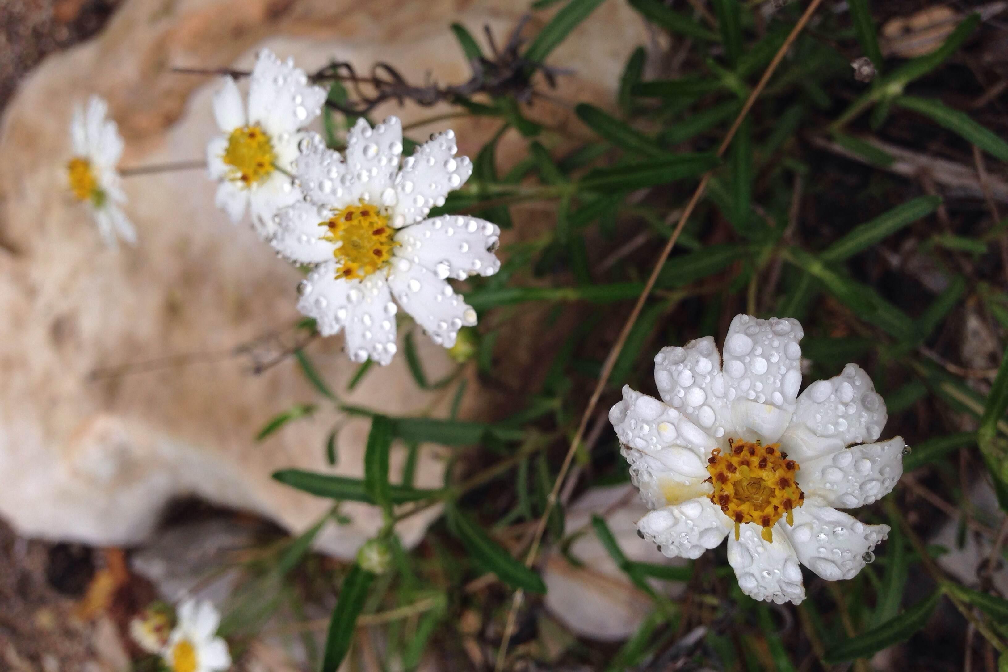 Melampodium leucanthum, Blackfoot daisy
