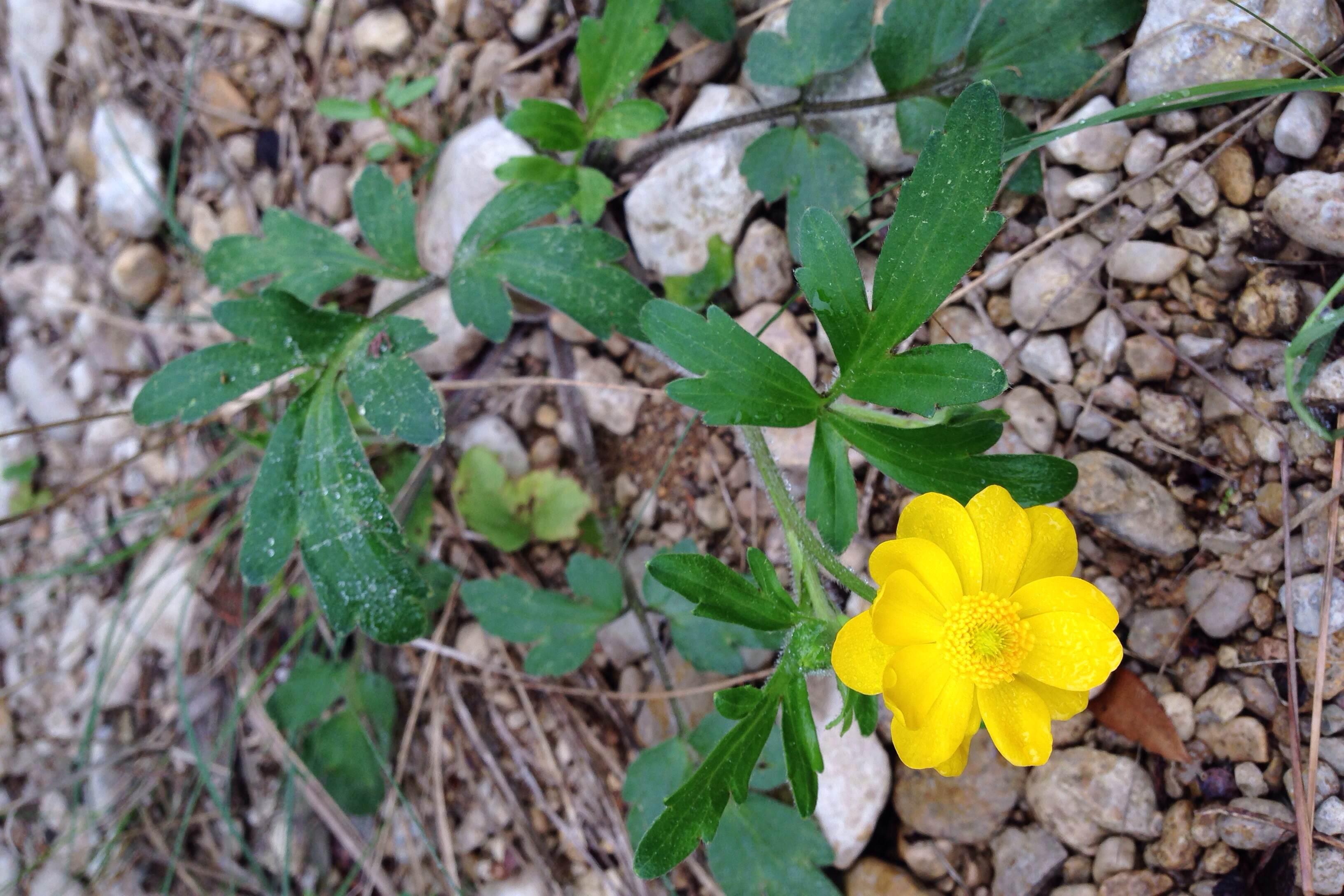 Coreopsis lanceolata?